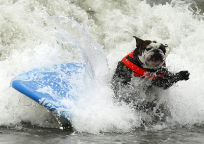 Surfing dog competitions