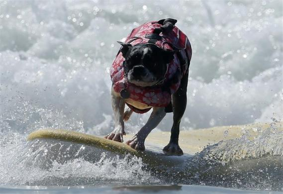 DOG PUPPY SURF SWIM WATER