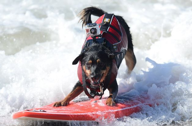 Surfing Dog Recors