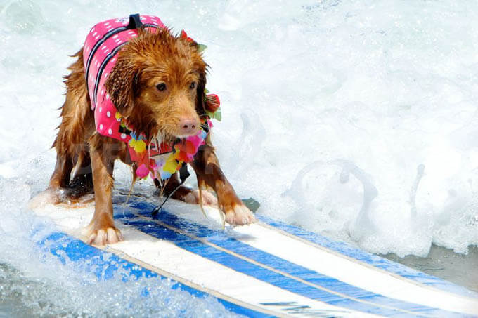 surfing dogs calendars
