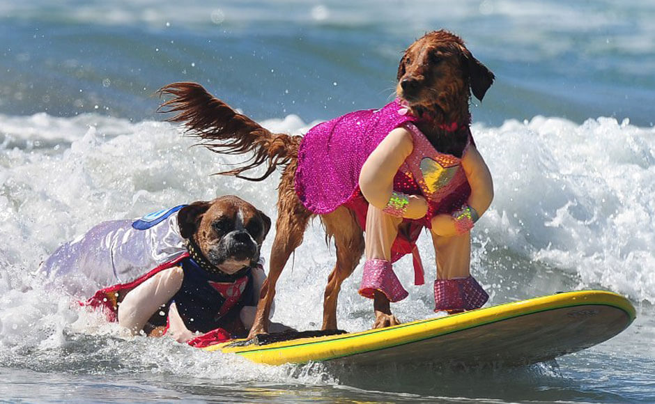 Surfing Dog Videos
