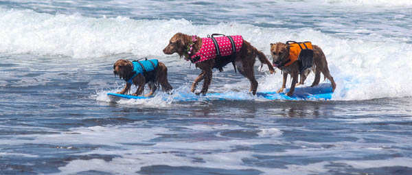 Surfing Dog Videos Tandem