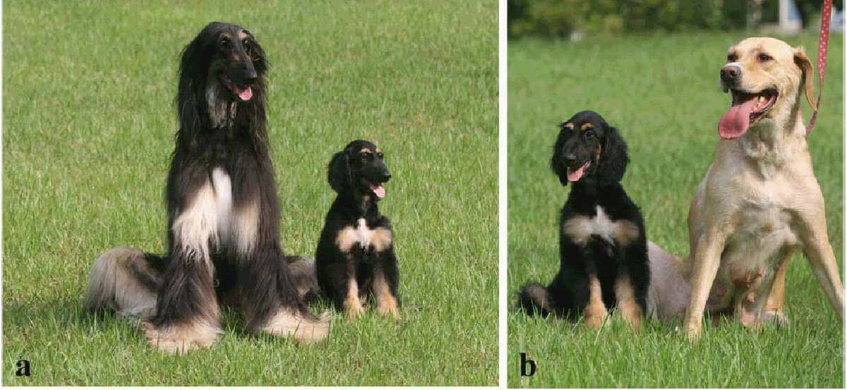 The History of Dog Cloning and First cloned Dogs