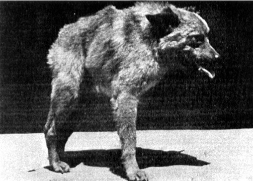 THE ROOTS & HISTORY OF QUASIMODO DOGS Video, Photo, Infographics