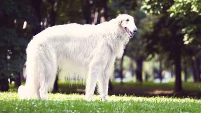 ALBINISM IN DOGS, ALBINO DOG