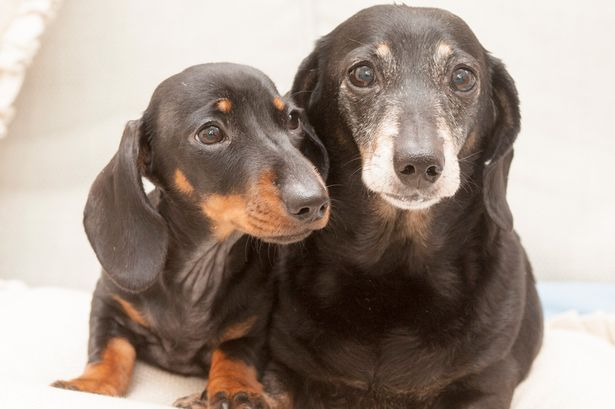 Cloned Dachshund Winnie - This Photo is courtesy of David Parker / SOLO Syndication