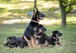 K9 Police Dogs Cloning