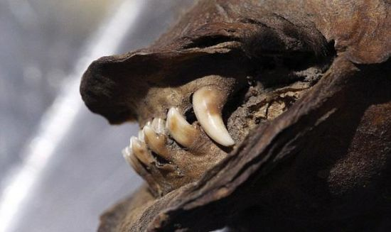 DUBBED TUMAT DOG - 12.000 YEARS OLD ANCIENT DOG MUMMY WILL BE CLONED - Photo provided to China News Service
