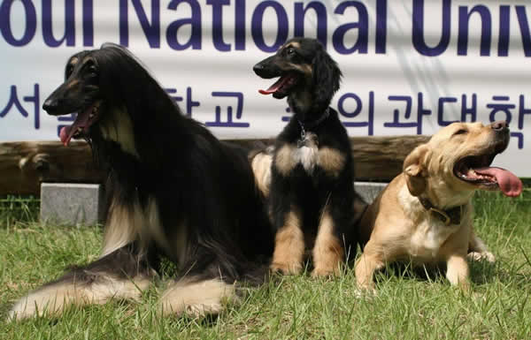 In this handout photo, Snuppy the first successfully cloned Afghan hound, sits with his generic father (L) and his surrogate mother (R) at the Seoul National University on August 3, 2005.   (Getty Images) - The History of Dog Cloning