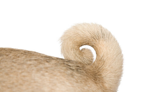 Dog and Puppy tail types