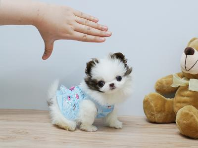 TEACUP, TOY & POCKET DOGS