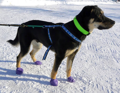 Dog Shoes and Boots Types, Styles, Sizes, Cost