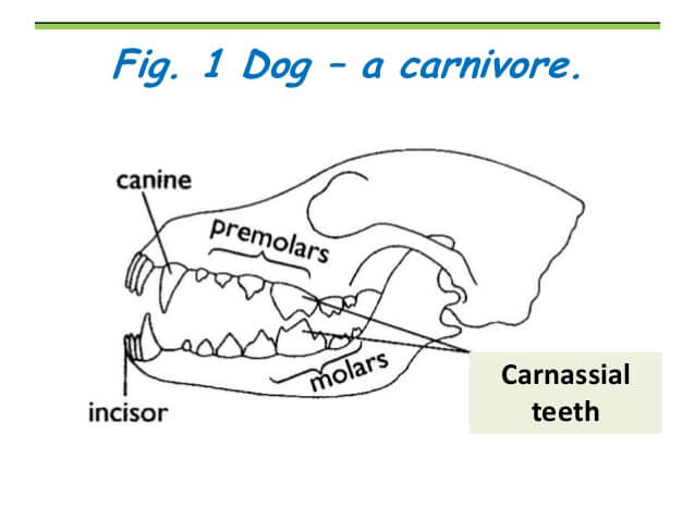 DOG AND PUPPY TEETH TYPES, THE TYPES OF TOOTH OF DOG & PUPPY
