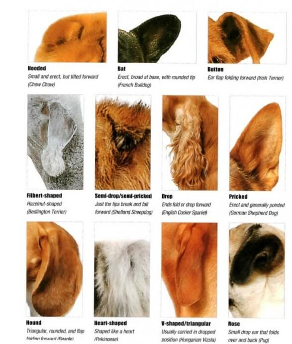DOG PUPPY EARS STRUCTURE