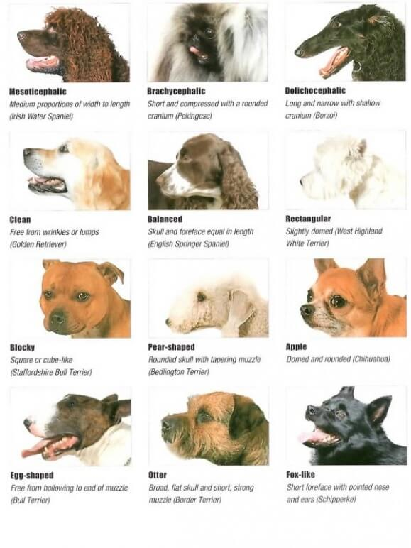 Dog Head Types and Shapes