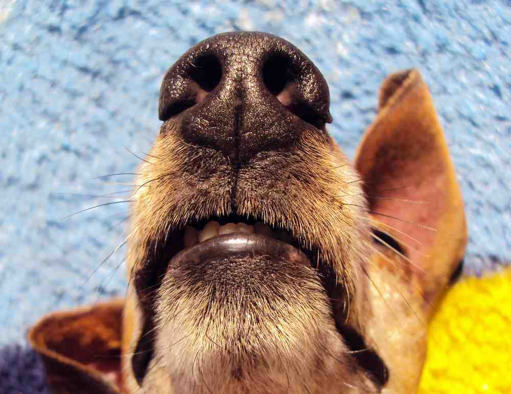 How to Remove Dog Smell House, Carpet, Odour, Dog's Nose