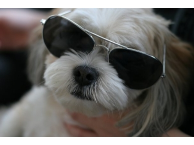 SunGlasses For Dogs