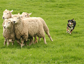 SHEEPDOGS HISTORY, FARM DOGS