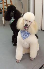 DOG and PUPPY haircut