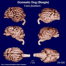 DOG BRAIN vs HUMAN BRAIN COMPARISON