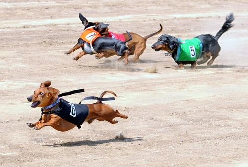 Dog Race, Fastest Dog Breeds, Speed of Dogs
