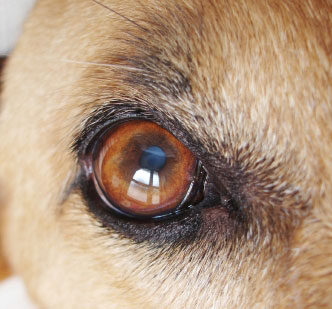 DOG VISION and EYES