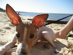 Dog and Puppy Ear