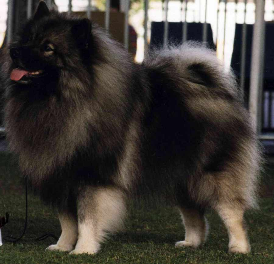 CHINESE FOO DOG BREED - HISTORY, APPEARANCE, DEFINITONS