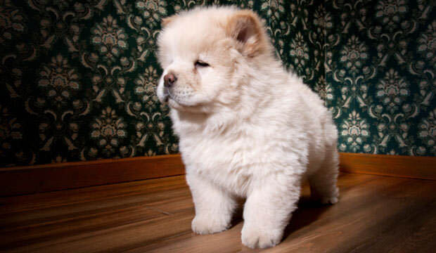 CHINESE FOO DOG BREED - HISTORY, APPEARENCE, DEFINITONS