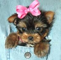 Mini Pocket Teacup Bag Dogs & Puppies: Video, Photo, Facts, Information, Infograms, Infographics