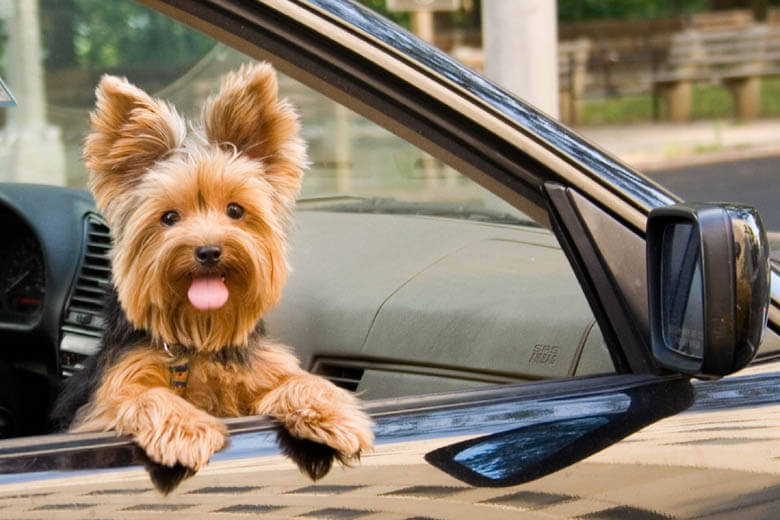 dog in car, dogs and cars
