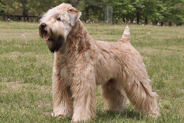 DOGS THAT DOES NOT SHED, NOT SHEDDING DOG BREEDS