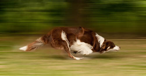 How Fast Dog can Run? Speed of the Dog