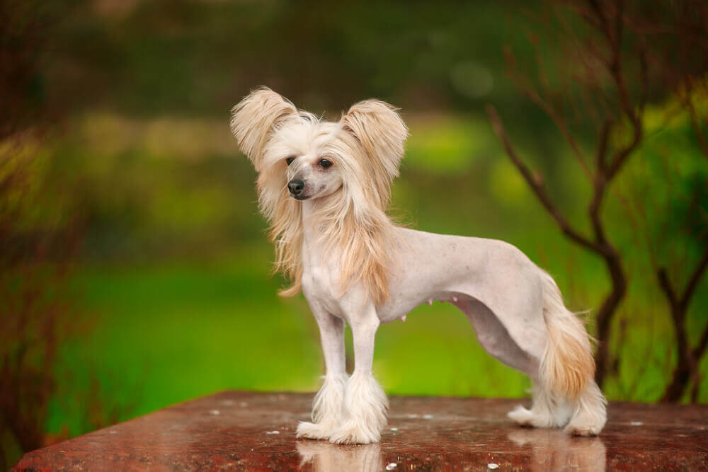 HYPOALLERGENIC LOW-SHEDDING / NON SHEDDING DOGS