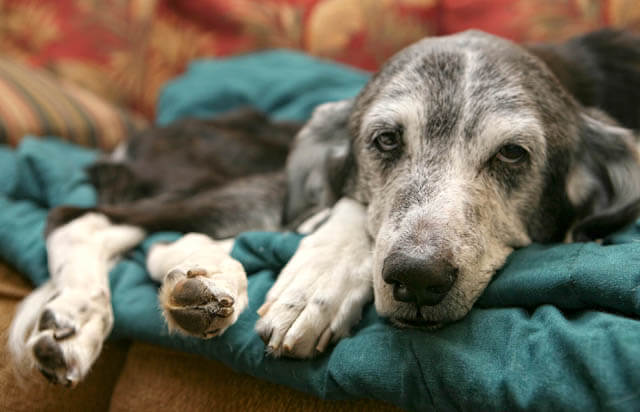 PARVO VIRUS IN OLDER DOGS