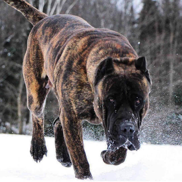 DOG FIGHT √ DOGICA® Top 25 Dogs With The Strongest Bite