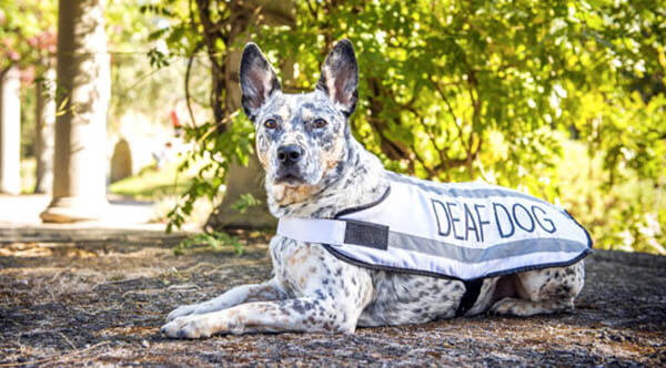 DEAFNESS IN OLDER DOGS