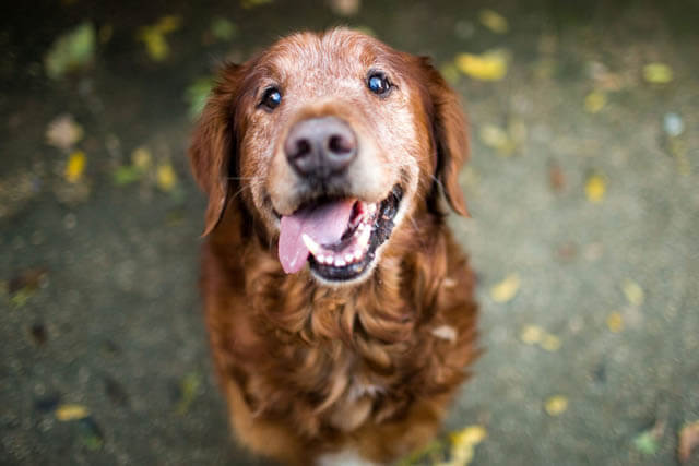 URINARY INCONTINENECE IN SENIOR DOGS