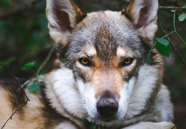 DOG vs WOLF DIFFERENCES - THIS INFO by WWW.PETMD.COM