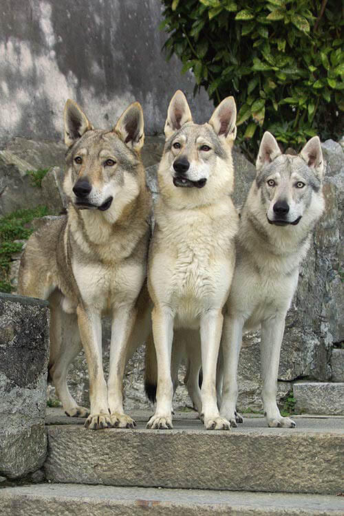 WOLF HYBRID LAWS in USA