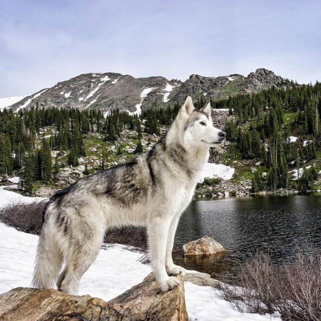 WOLFDOG MYTHS & IN-DEPTH FACTS