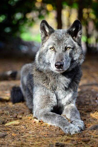HOW TO BECOME A WOLFDOG BREEDER