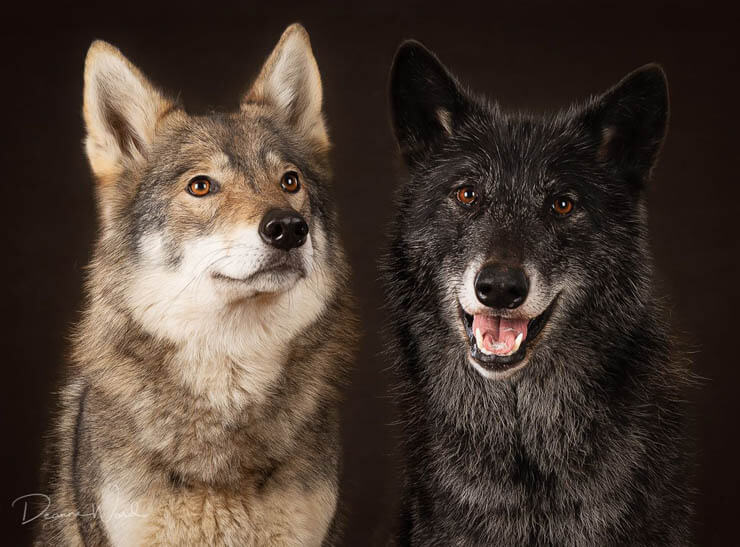 10 Ways to Tell if your dog is Wolfdog