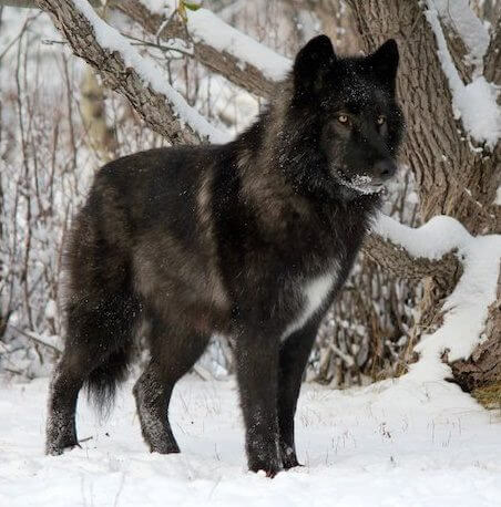 WOLFDOG: BREED SPECIFICATIONS