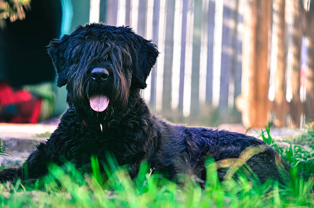 PHOTO (C) by ISTOCK - BEST GUARD DOG BREEDS