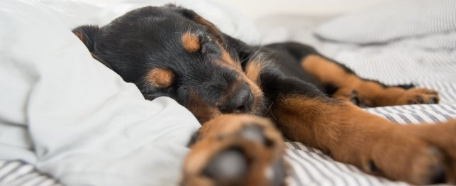 This Image (c) by iStockphoto/Thinkstock Dog Dreams, Do dogs dream? Dog Dreams Inn and Video