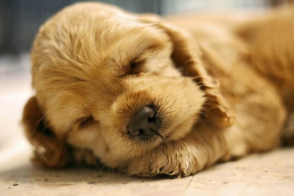 Dog Dreams and Sleep Bark Reasons