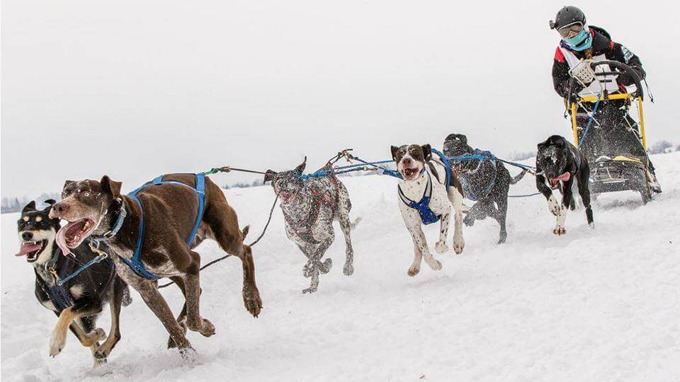 Yukon Quest Sled Dog Race, Sled Dogs Mushing