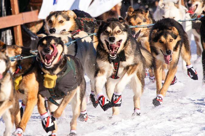 SUCCESSFUL DOG SLEDDING, Sled Dog Races