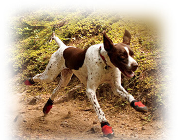How to get Dog used to Boots, Shoes & Socks?